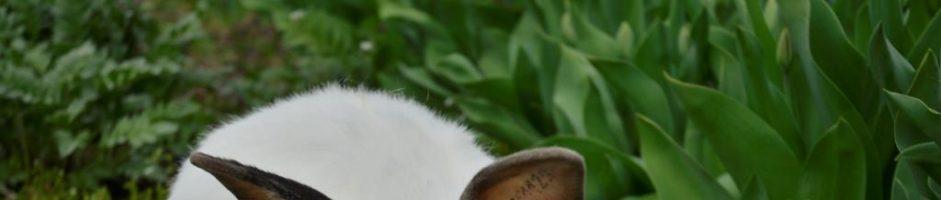 Кролик породи Каліфорнійський