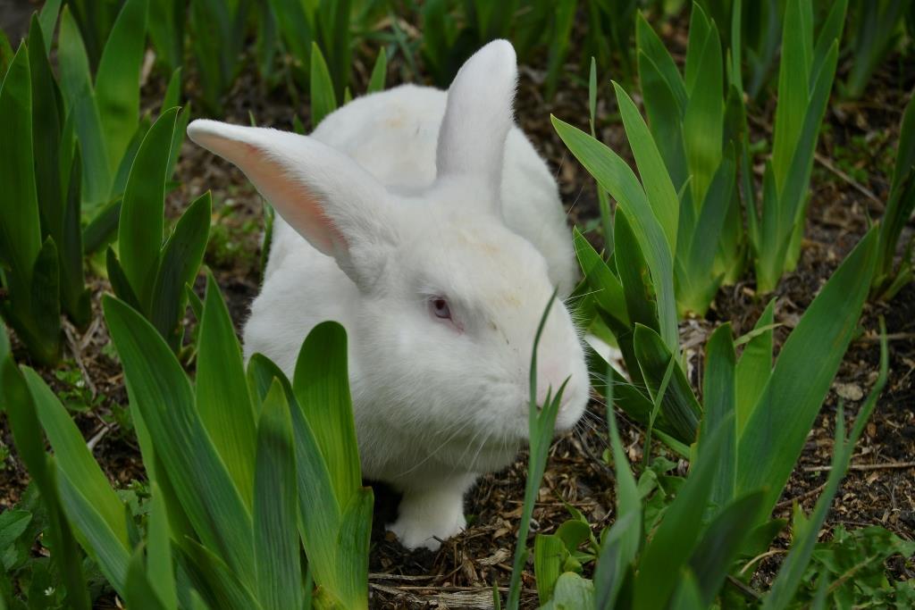 Кролик породи Новозеландський білий