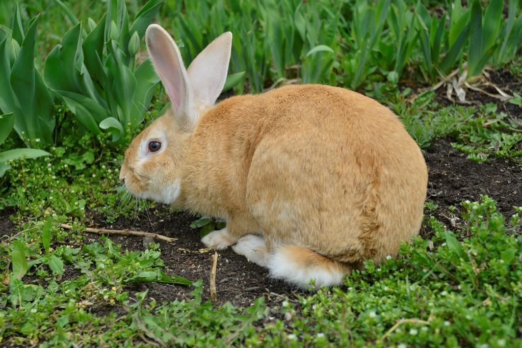 Кролик породи Новозеландський червоний
