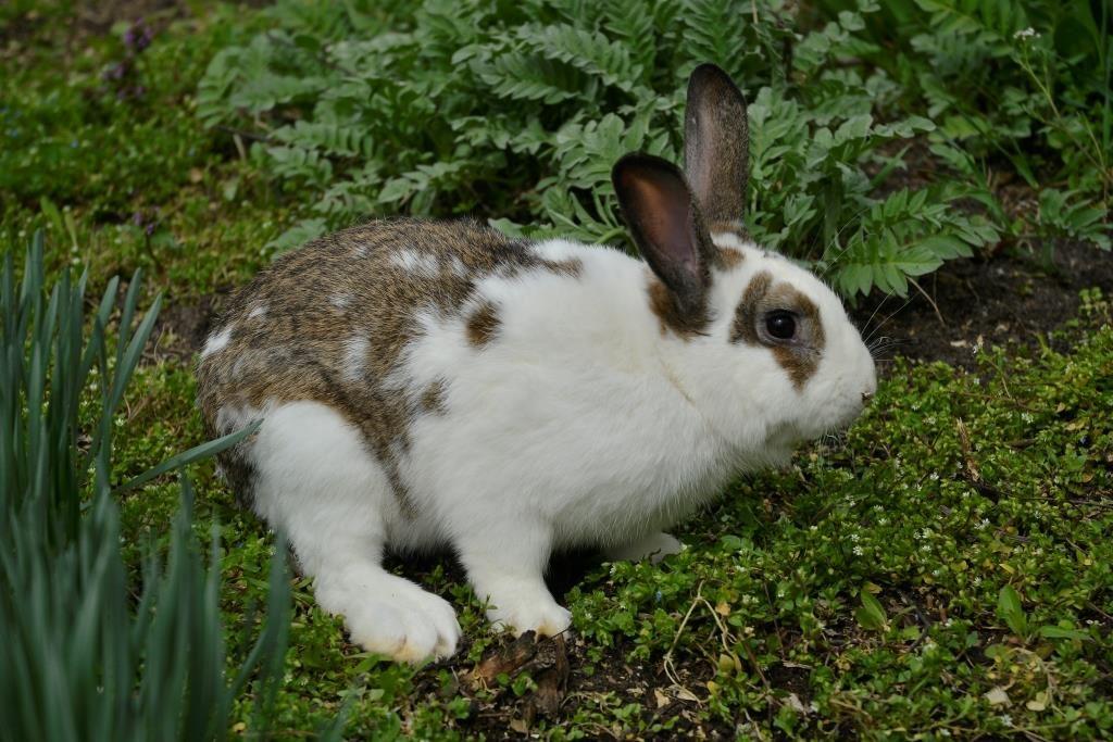 Кролик породи Метелик