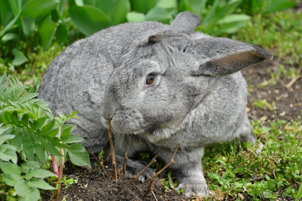 Кролик породи Шиншила