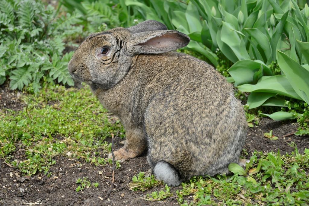 Кролик породи Гібридний